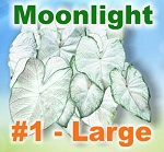 Moonlight Caladiums - Large Bulbs