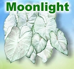 Moonlight Caladiums - Mixed Sizes