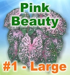 Pink Beauty Caladiums - Large Bulbs by Count