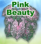 Pink Beauty Caladiums - Mixed Sizes
