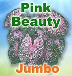 Pink Beauty Caladiums - Jumbo Bulbs by Count