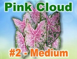 Pink Cloud Caladiums - Medium Bulbs