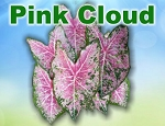 Pink Cloud Caladiums - Mixed Sizes