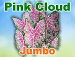 Pink Cloud Caladiums - Jumbo Bulbs