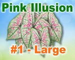 Pink Illusion Caladiums -  Large Bulbs by Count