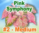 Pink Symphony Caladiums - Medium Bulbs
