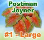 Postman Joyner Caladiums - Large Bulbs