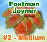 Postman Joyner Caladiums - Medium Bulbs