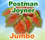 Postman Joyner Caladiums - Jumbo Bulbs by Count
