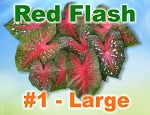 Red Flash Caladiums - Large Bulbs by Count