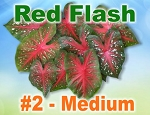 Red Flash Caladiums - Medium Bulbs by Count