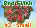 Red Flash Caladiums -Small Bulbs