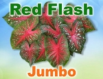 Red Flash Caladiums - Jumbo Bulbs