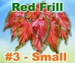 Red Frill Caladiums - Small Bulbs