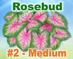 Rosebud Caladiums - Medium Bulbs by Count