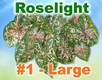 Roselight Caladiums - Large Bulbs by Count