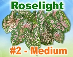 Roselight Caladiums - Medium Bulbs by Count