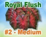 Royal Flush Caladiums -  Medium Bulbs by Count