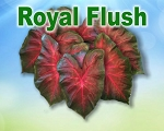 Royal Flush Caladiums - Mixed Sizes