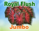 Royal Flush Caladiums -  Jumbo Bulbs by Count
