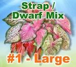 Strap/Dwarf Mix Caladiums - Large Bulbs by Count