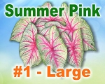 Summer Pink Caladiums -  Large Bulbs by Count