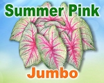Summer Pink Caladiums -  Jumbo Bulbs by Count