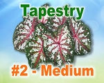 Tapestry Caladiums -  Medium Bulbs by Count