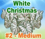 Wht Christmas Caladiums - Medium Bulbs by Count