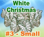 White Christmas Caladiums - By the Box