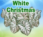 White Christmas Caladiums - Mixed Sizes