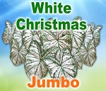 Wht Christmas Caladiums - Jumbo Bulbs