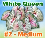 White Queen Caladiums - Medium Bulbs by Count