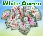 White Queen Caladiums - Mixed Sizes