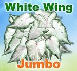 White Wing Caladiums - Jumbo Bulbs