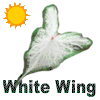 White Wing Caladiums