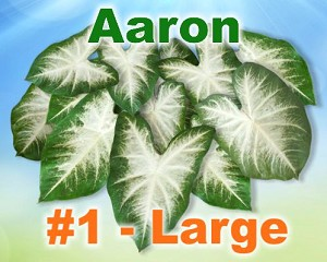 Aaron Caladiums - Large Bulbs by Count