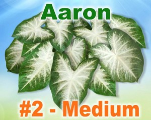 Aaron Caladiums - Medium Bulbs by Count