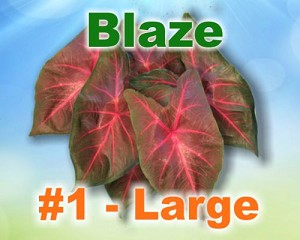 Blaze Caladiums -  Large Bulbs by Count