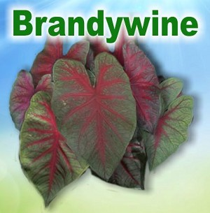 Brandywine Caladiums - Mixed Sizes