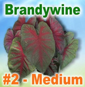 Brandywine Caladiums - Medium Bulbs by Count