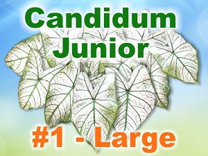 Candidum Jr Caladiums - Large Bulbs by Count