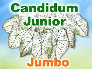 Candidum Jr Caladiums - Jumbo Bulbs by Count