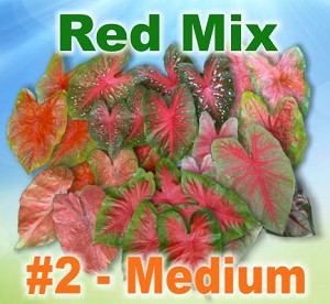 Red Mix Caladiums - Medium Bulbs by Count