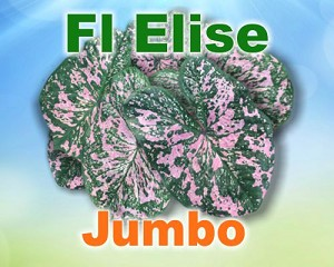 Florida Elise Caladiums -  Jumbo Bulbs