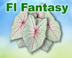 Florida Fantasy Caladiums - Mixed Sizes