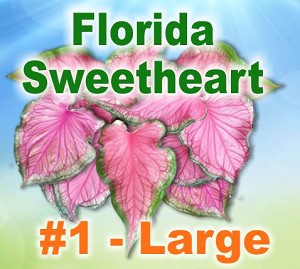 FL Sweetheart Caladiums - Large Bulbs by Count