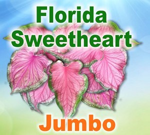 FL Sweetheart Caladiums - Jumbo Bulbs by Count