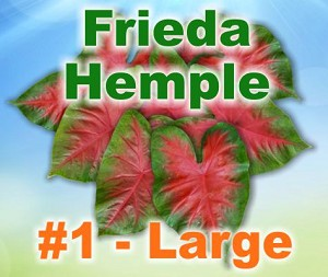Frieda Hemple Caladiums - Large Bulbs by Count