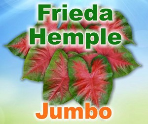 Frieda Hemple Caladiums - Jumbo Bulbs by Count